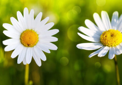 White daisy flowers isolated on green background. Floral background.